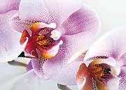 Fototapete FTNm2633 Photomurals Orchidee